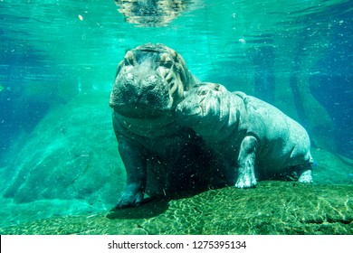 Mamma hippo with her baby under water