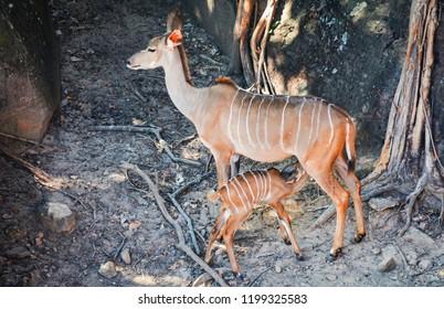 Mammal animal breast feeding Nyala wildlife / Female nyala south africa animals wildlife standing on the deer farm at national park - simply nyala (Tragelaphus angasii)