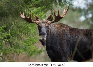 Mammal - bull moose (Alces)