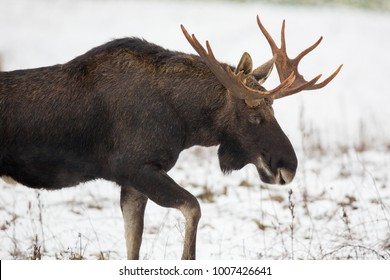 Mammal - bull moose winter (Alces)
