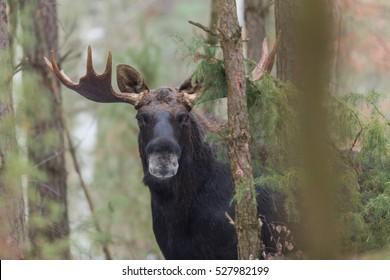Mammal - bull moose winter (Alces)