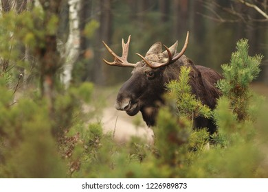 Mammal - moose (Alces alces)