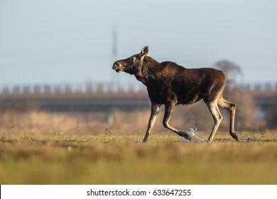 Mammal - moose (Alces)