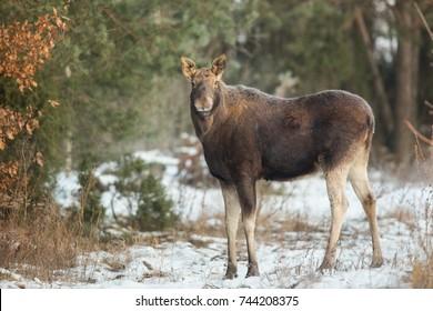 Mammal - moose winter (Alces)