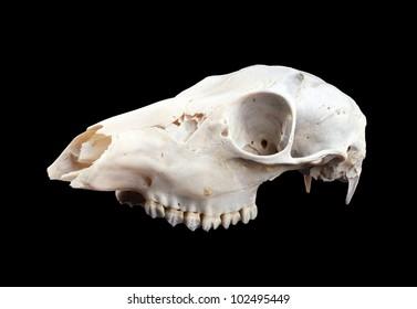 mammalian skull, isolated on black