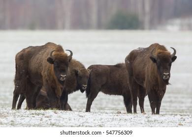 Mammals - European bison (Bison bonasus) in winter time, Knyszyn Forest (Poland)