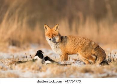 Mammifères - Renard rouge européen (Vulpes vulpes) hiver