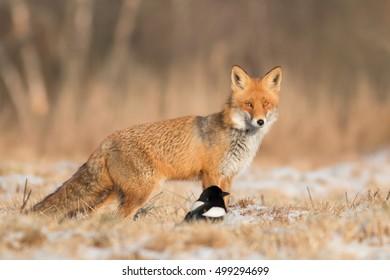 Mammals - Fox (Vulpes vulpes)