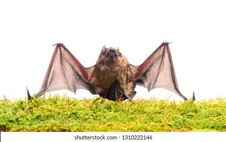 Mammals naturally capable of true and sustained flight. Bat emit ultrasonic sound to produce echo. Bat detector. Dummy of bat white background. Ugly bat. Forelimbs adapted as wings. Museum of nature.