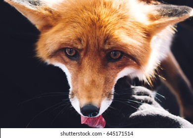 Mammals -  red fox pet, looking for something to eat or to bite, showing teeth, wild animal in the nature