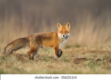 Mammals - Red Fox (Vulpes vulpes)