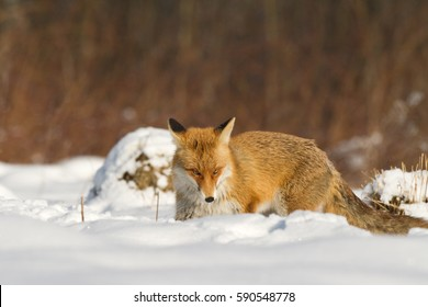 Mammals - Red Fox (Vulpes vulpes), looking for something to eat in deep snow. Winter.