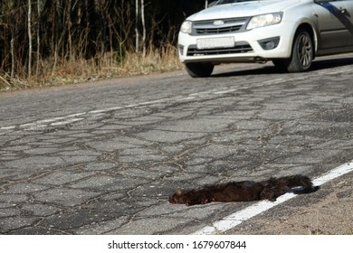 Mammals as victims of cars on roads. American mink (Mustela vison) hit by car on forest road, passing car in background. Every day millions of animals around world are victims of road accidents