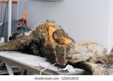 Mammary gland tumor in bitch