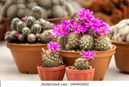 The Mammillaria Cchumannii cactus in pot on table lovely plant indoor.