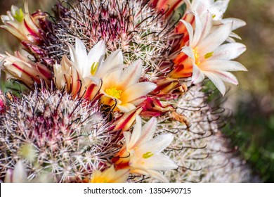 Mammillaria dioica  (also called the strawberry cactus, California fishhook cactus, strawberry pincushion or fishhook cactus) blooming in Anza Borrego Desert State Park, south California
