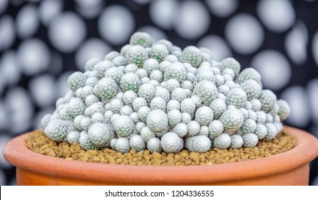 A mammillaria humboldtii cactus in pot on wood background, lovely plant indoor