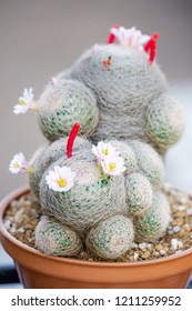 A mammillaria lenta cactus in pot on wood background, lovely plant indoor