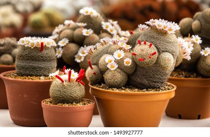 The Mammillaria lenta cactus in pot on wood background, lovely plant indoor.