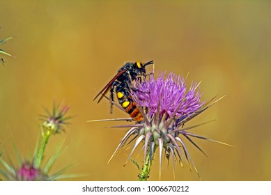 Mammoth Solitary Wasp (megascolia. scolia maculata) feeding on a thistle flower at the Mavrokolympos Dam near Paphos on the Mediterranean island of Cyprus on a very hot summer's day.