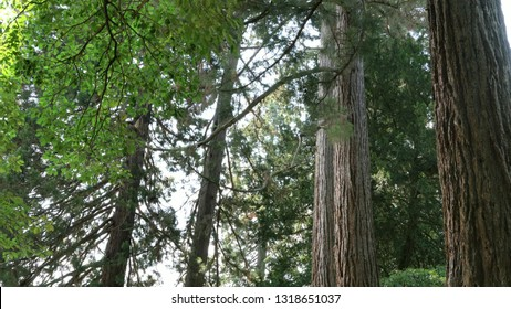 Mammoth tree, giant redwood, Sequoia, Seauoioidae, tree in the public garden . Baden-Baden. Black Forest.