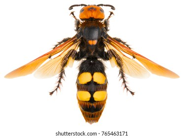 The mammoth wasp Megascolia maculata a very large wasp isolated on white background, dorsal view of Megascolia