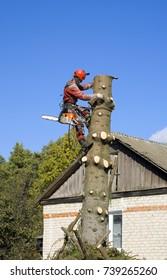 Man arborist saws big tree chainsaw