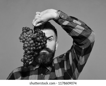 Man with beard holds bunch of grapes isolated on green background. Farmer shows his harvest. Winegrower with serious face hides behind cluster of grapes. Viticulture and gardening concept