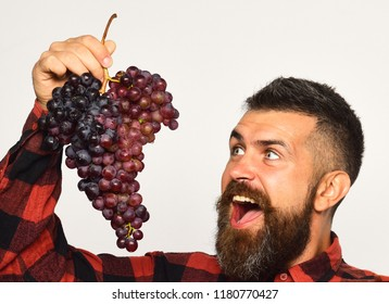 Man with beard holds bunch of purple grapes isolated on white background. Winegrower with cheerful face eats cluster of grapes. Farmer shows his harvest. Viticulture and gardening concept