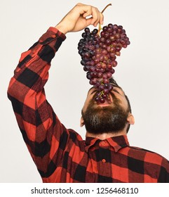 Man with beard holds bunch of purple grapes isolated on white background. Farmer bites his harvest. Winegrower with his face up eats cluster of grapes. Viticulture and gardening concept.