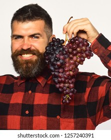 Man with beard holds bunch of purple grapes isolated on white background. Farmer shows his harvest. Viticulture and gardening concept. Winegrower with smiling face presents cluster of grapes