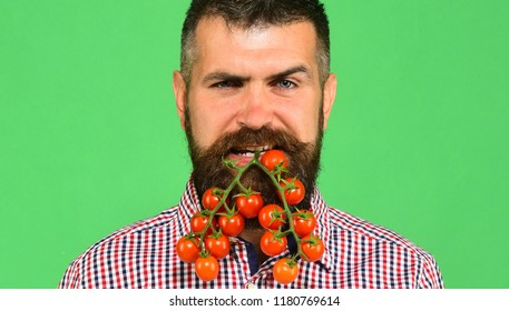Man with beard holds vegetables in mouth isolated on green background. Farmer with flirty face shows bunch of red cherry tomatoes. Guy holds homegrown harvest. Farming and gardening concept