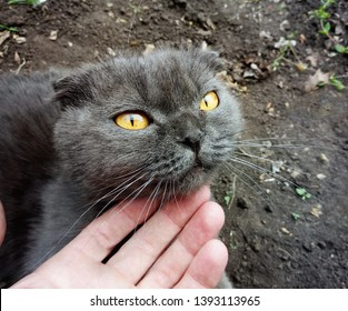 Man caresses a Scottish Fold gray cat with yellow eyes.