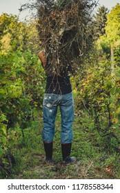 Man carries hay in the vineyard