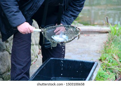 Man catching trout by nettle in pond. Fish farming. Man catching fish. Private trout farm. Curious tourists take pictures of trout caught on trout farm