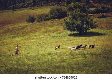 Man Chasing Goats In An Open Field
