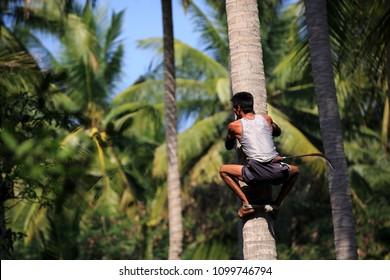 Man climbing coconut trees to harvest in the garden  at amphawa,Samutsongkhram.