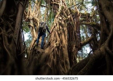 Man climbing an enormous tree.