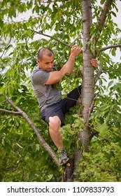 Man climbing up the tree to harvest bitter sweet black cherries for jam