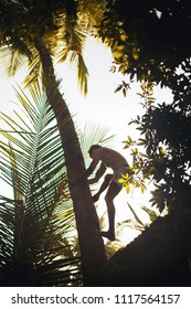 A man climbs a palm tree to get coconuts.