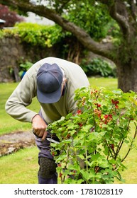 Man collecting ripe red currents from red current bush in summer garden.