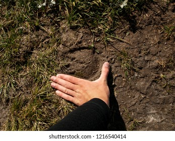 Man is comparing track of a muscox with his hand. First person view. Norway.
