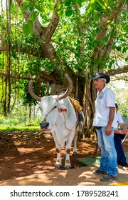 Man and Cow with saddle for riding tourists. Pinar Del Rio, Vinales,  Cuba, Spring 2019