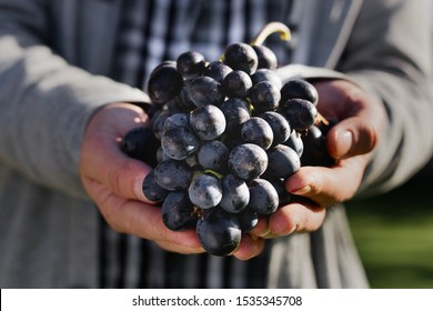 Man crop ripe bunch of black grapes on vine. Male hands picking Autumn grapes harvest for wine making In Vineyard. Cabernet Sauvignon, Merlot, Pinot Noir, Sangiovese grape sort.