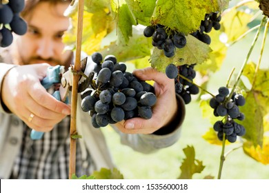 Man crop ripe bunch of black grapes on vine. Male hands picking Autumn grapes harvest for wine making In Vineyard. Cabernet Sauvignon, Merlot, Pinot Noir, Sangiovese grape sort