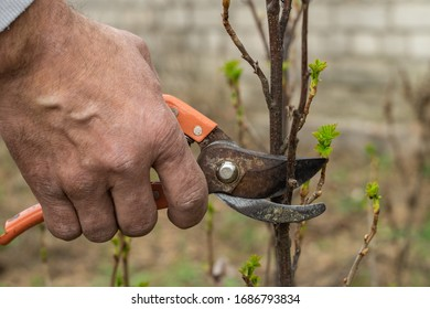 A man cuts branches of a bush by pruner in spring