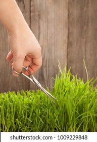 Man cuts grass for lawn with scissors, fresh cut lawn