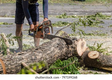 Man cuts tree felling tree with chainsaw, To work without security.