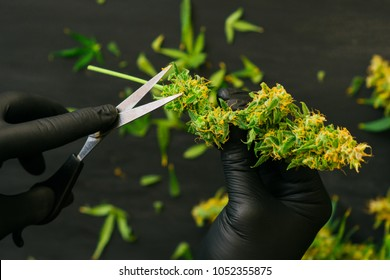 A man is cutting fresh cannabis buds. Vintage marijuana