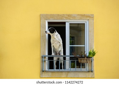 A man and dog standing in a window looking at the street. Tomar, Portugal